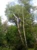 16.05.2020 - usuwanie pochyłych drzew