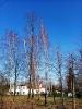 19.03.2020 - usuwanie pochyłych drzew