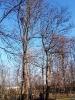 24.01.2020 - przycięcie pielęgnacyjne drzew