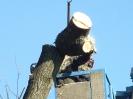 1-7.03.2013 - usuwanie topól przez pracowników Zieleni Miejskiej